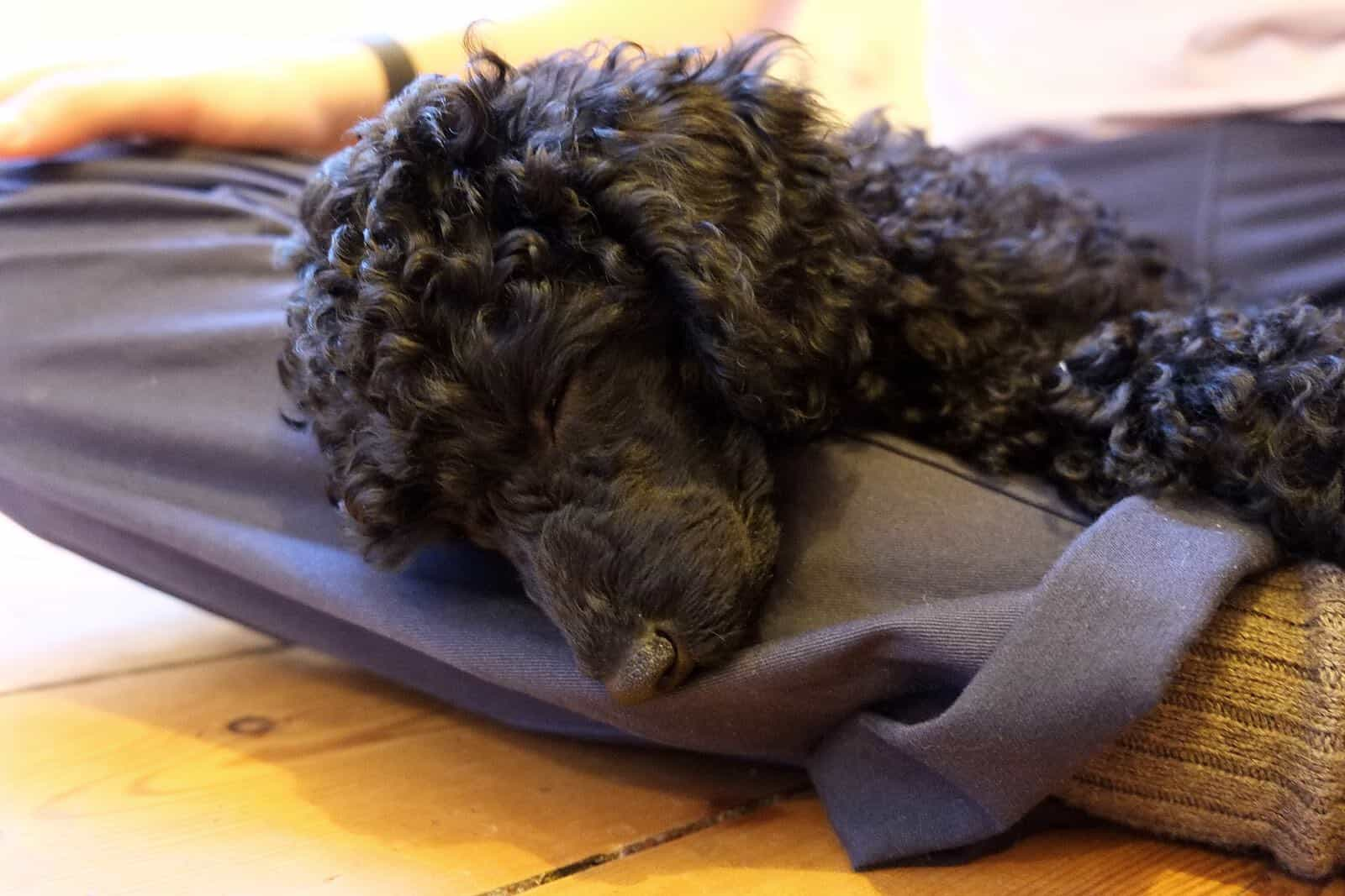 How to Choose a Poodle Puppy: A Complete Guide