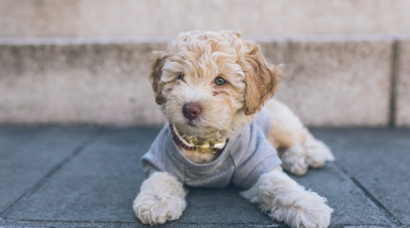 When Should A Poodle Be Spayed Or Neutered: How To Make The Best Decision For Your Poodle