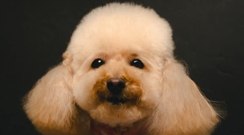 When Should A Poodle First Get Trimmed, Clipped and Groomed? Find Out How To Decide The Best Time For A Poodle To Get Their First Haircut
